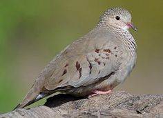 Common Ground-Dove Photo - i think we have this in the front yard.  New addition.  Head bobs when they walk like a quail.  May 2016