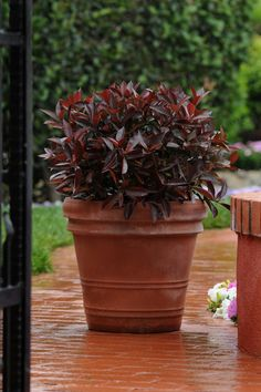 If the pH in your garden or landscape is below grow these acid-loving flowers, trees and shrubs. Best Shrubs For Shade, Shade Shrubs, Shade Grass, Planting Shrubs, Garden Shrubs, Shade Garden, Garden Plants, Potted Plants, Ornamental Grasses For Shade