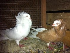 Fancy pigeon breeding pairs for sale Chennai - Dog Buy Sale Pigeons For Sale, Chennai, Pairs, Fancy, Dogs, Animals, Animales, Animaux, Pet Dogs