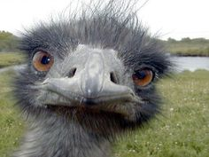 The Australian Emu is a large flightless bird that is native to Australia. Relatives include the ostrich and the cassowary. The Australian Emu. Funny Animal Faces, Funny Animals, Cute Animals, Funny Birds, Angry Animals, Funniest Animals, Happy Animals, Wild Animals Pictures, Funny Animal Pictures