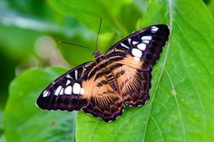 The Clipper (Parthenos sylvia) is a species of nymphalid butterfly found in South and South-East Asia, mostly in forested areas. The Clipper is a fast flying butterfly and has a habit of flying with its wings flapping stiffly between the horizontal position and a few degrees below the horizontal. It may glide between spurts of flapping. (Excerpt from wikipedia.org)