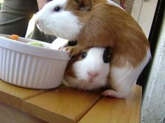 Image detail for -Candy and Cherry - Guinea Pig Cage Photos Baby Guinea Pigs, Guinea Pig Toys, Guinea Pig Care, Hamsters, Rodents, Wombat, Guinie Pig, Animals And Pets, Cute Animals