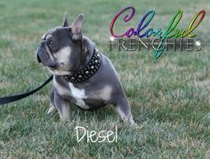 23lb French bulldog up for stud. He carries cream and chocolate. Has produced the rainbow of colors including lilac and tans as well as chocolate & tans.  Health tested and clear of French bulldog panel. Also ofa tested for heart and thyroid.  Stud fee is $5000 or 2nd pol depending on female.