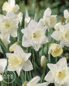Narcissi trumpet 'Mount Hood' Daffodil from ADR Bulbs