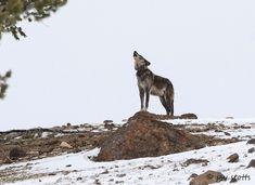 Yellowstone Wolf By Jay Stotts Yellowstone National Park, National Parks, Yellowstone Wolves, Panther, Habitats, Jay, Wildlife, Preserves, Animals