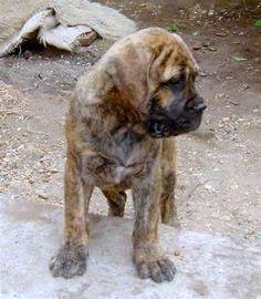 Bullmastiff brindle pup
