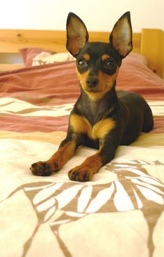 """""""Mirka"""" -- I have to say, I love that the AKC is no longer requiring cropping on Min Pins. I think they're so much more expressive with natural ears!"""