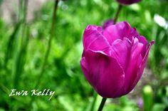 purple tulip  #photography #flowers