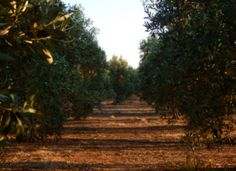 Our olive grove in a mellow summer afternoon