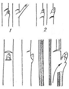 Рис. 66. Серповидные надрезы: 1 - над почкой и над веткой; 2 - под почкой