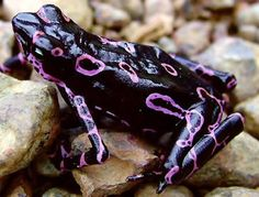 repinned from another pinner blkcowrie ❀ • The Atelopus frog is known by many names such as the clown frog or the Costa Rican Variable Harlequin Toad. It is a neo-tropical toad that was once quite wide spread living throughout Costa Rica and Panama.