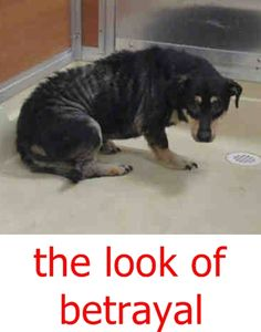 A1809455 I am a female black and tan Terrier mix.  The shelter staff think I am…