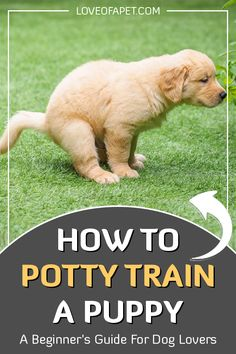 """How To Potty Train A Puppy – A Beginner's Guide For Dog Lovers: A dog is in the truest sense man's best friend. As Charles M. Schulz said, """"Happiness is a warm puppy."""" Bringing a little puppy in your home and family bri. Best Puppies, Little Puppies, Cute Puppies, Dogs And Puppies, Beagle Puppies, Chihuahua Dogs, Puppy Training Tips, Training Your Dog, Potty Training Puppies"""