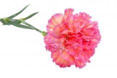 pink carnations - very nice for any flower piece