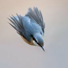 he Eurasian Nuthatch (Sitta europaea) is a small passerine found throughout temperate Europe and Asia. It belongs to the nuthatch family Sittidae. This bird is the most common and most widespread nuthatch, and is often referred to just as the Nuthatch.