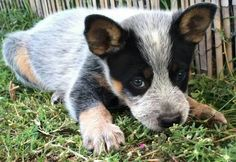 From Australian Working Dog Rescue.