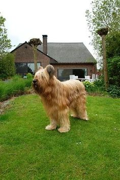 Briard Dogs.. How can he see?? So cute