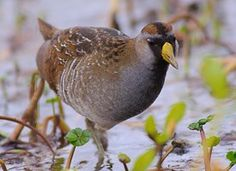 Sora - Learn how to identify Sora, its life history, cool facts, sounds and calls, and watch videos. A small, secretive bird of freshwater marshes, the Sora is the most common and widely distributed rail in North America. Its distinctive descending whinny call can be easily heard from the depths of the cattails, but actually seeing the little marsh-walker is much more difficult.