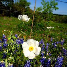 Poppy and bluebonnets in Burnet, Tx