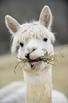 Suri alpacas produce a thinner, silkier fiber that works well for sweaters, scarves, hats, blankets and socks that will last a lifetime.
