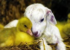 Wild life: Cute duck and lamb in love
