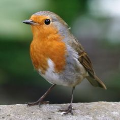 | pictures of red robin english bird - England