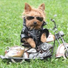motorcycl, funny dogs, yorkie, animal humor, pet, bone, dog pictures, dog funnies, funny puppies
