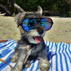Schnauzer rockin its sunnies! :) This may be the cutest thing I have ever seen!