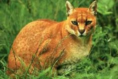 African golden cat (Profelis aurata) is a medium-sized wild cat distributed over the rainforests of West and Central Africa Caracal, Serval, Big Cats, Cool Cats, Tanzania, Felis Margarita, Largest Domestic Cat, Big Cat Species, Rusty Spotted Cat