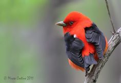 Scarlet Tanager (there were two in my backyard yesterday)