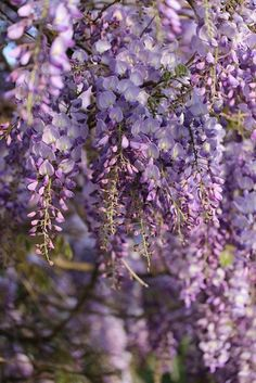 My absolute favourite flower Wisteria Garden, Purple Wisteria, Purple Haze, Lilac, Purple Garden, Lavender, Garden Pond, Chelsea Flower Show, Amazing Gardens