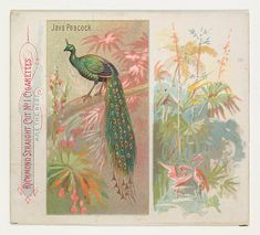 Java Peacock, from Birds of the Tropics series (N38) for Allen & Ginter Cigarettes