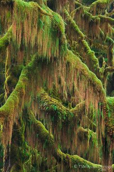 Mossy covered branches in one of the lush maple glades of the Hoh River Rainforest in Washington's Olympic National Park.