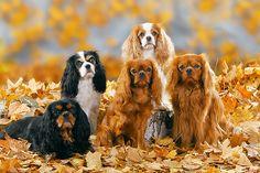 cavalier king charles Black and Tan, Tri, Ruby, Blenheim CKCS