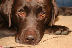 Schoko / Chocolate Labrador