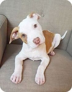 Pit Bull Terrier Mix Puppy for adoption in Joliet Illinois - Tia