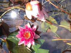 Waterlily@orticola2013