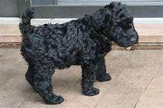Karry blue Terrier - Bing Images