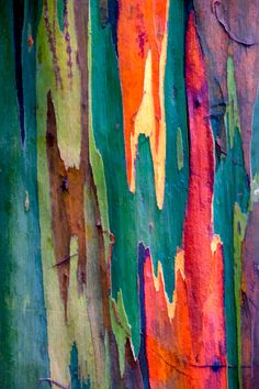 Rainbow Eucalyptus trees... The phenomenon is caused by patches of bark peeling off at various times and the colors are indicators of age. A newly shed outer bark reveals bright greens which darken over time into blues and purples and then orange and red tones.