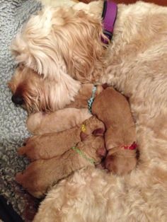A DownUnder Labradoodle mom with her new born pups only 6 hours old.  www.labradoodle.biz