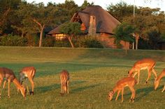 Herd of Impala keeping the fairways in order at Kruger Park Lodge
