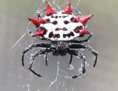 Spiny Orb-weaver (Gasteracantha) by Markrosenrosen is named for the prominent spines on its abdomen. Considered one of the beneficial spiders because it preys on urban pests, Its bite is generally harmless to humans. #Spider #Spiny_Orb_weaver