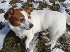 Meet+Jackie,+a+Petfinder+adoptable+Jack+Russell+Terrier+Dog+|+Moundsville,+WV+|+Jackie,+#2548,+is+a+sweet+4+year+old+JRT+mix.+Jackie+is+a+calm+dog+who+would+be+great+for+a+quiet...