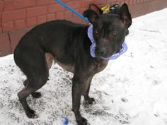 SAFE --- URGENT - Brooklyn Center   TINY - A0990382   FEMALE, BL BRINDLE, PIT BULL MIX, 4 yrs  OWNER SUR - EVALUATE, NO HOLD Reason MOVE2PRIVA  Intake condition NONE Intake Date 01/25/2014, From NY 11208, DueOut Date 01/28/2014, MAIN THREAD: https://www.facebook.com/photo.php?fbid=747825445230337&set=a.747811878565027.1073742901.152876678058553&type=3&theater