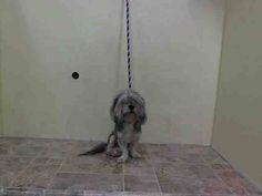 SAFE --- Manhattan Center   MICKEY - A1021355   FEMALE, WHITE / GRAY, SHIH TZU MIX, 3 yrs SEIZED - STRAY WAIT, NO HOLD Reason ABANDON Intake condition UNSPECIFIE Intake Date 11/22/2014, From NY 10453, DueOut Date 11/25/2014,   https://www.facebook.com/Urgentdeathrowdogs/photos/pb.152876678058553.-2207520000.1416777578./909784709034409/?type=3&theater