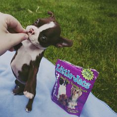 boston terrier | Tumblr I remember when she would fit in my coat pocket!!!