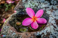 Stefanodav's Shot-Blog: Fallen...  #stefanodav #kauai #hawaii #iamnikon #nikonphotography #travel #travelphotography #blogger #beutifulplace #placetovisit #usa #fiore #flower #nature