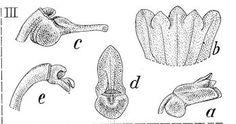 Taeniophyllum esetiferum