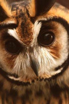 featherandmoss: Owl Portrait by Jean-Simon B