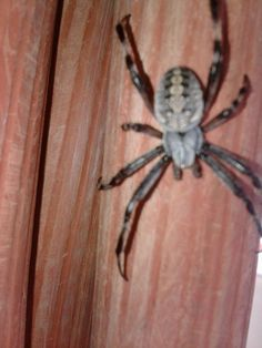 A Type of spider related to the Black Widow!